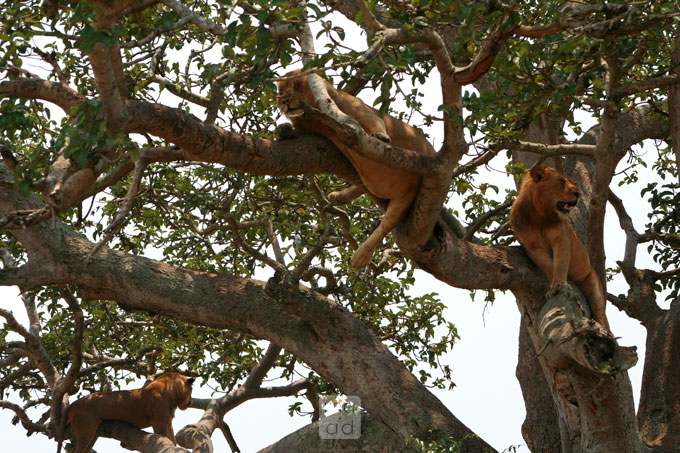 Lions relaxing on the tree
