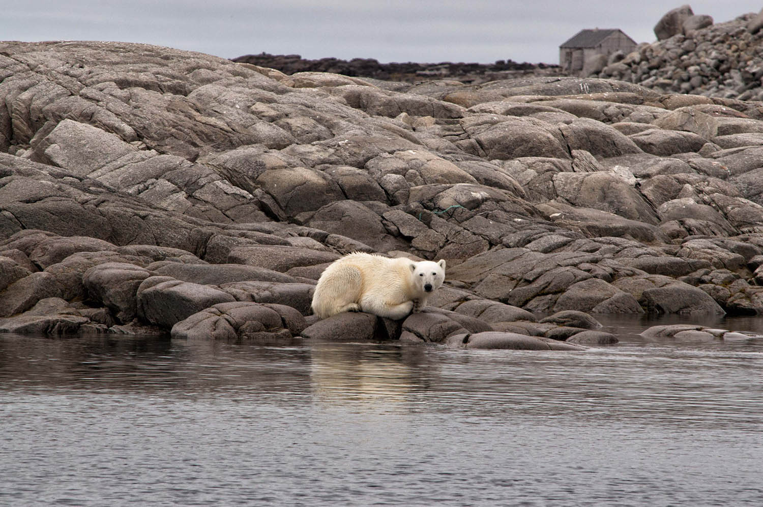 White bear in Spitsbergen