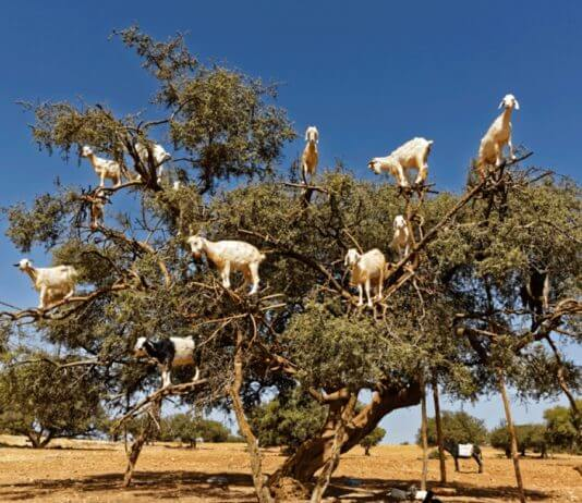 A few animals that can actually climb the three