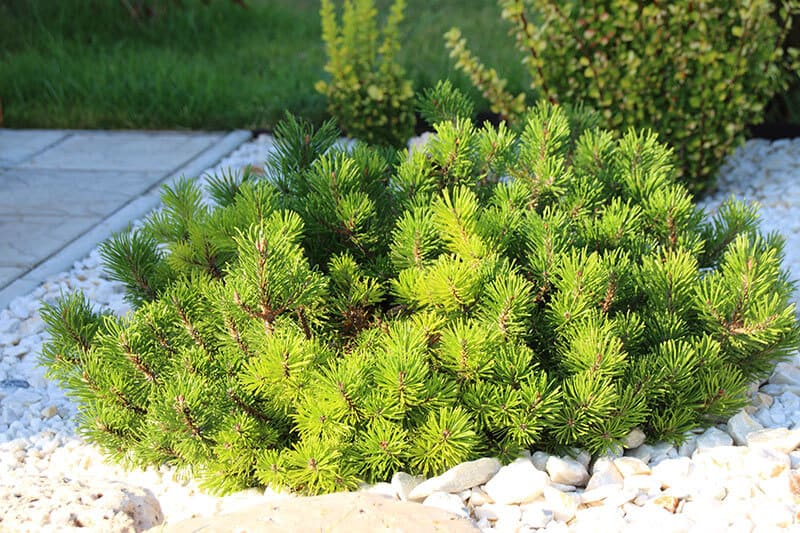 Pinus mugo doesn´t grow tall, instead covers a some area. It doesn´t need much water and looks stunning.