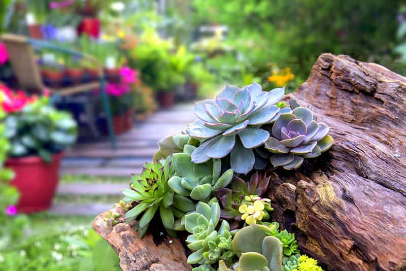 Succulents can practically grow even on wood with a little sandy soil