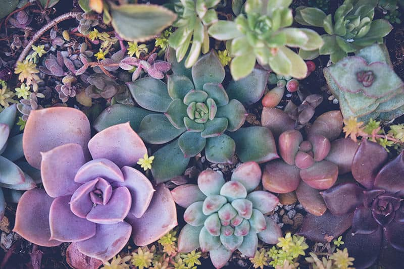 There is a dazzling choice of varieties of succulents