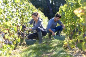 Harvesting at the vineyard