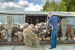 Man working on farm cattle