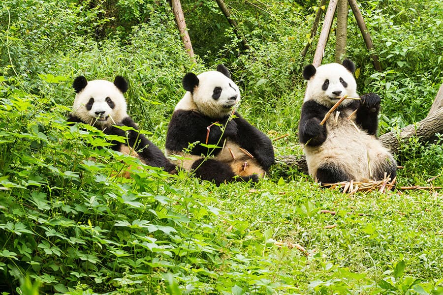 Three giant pandas Chengdu China