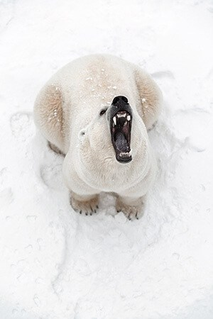 Big roaring polar bear