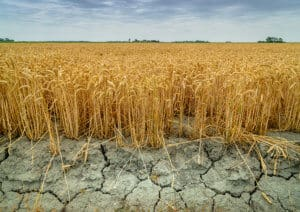 Genetically modified wheat resilient to a drought