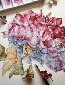 Botanical painting of a hydrangea with one real leaf